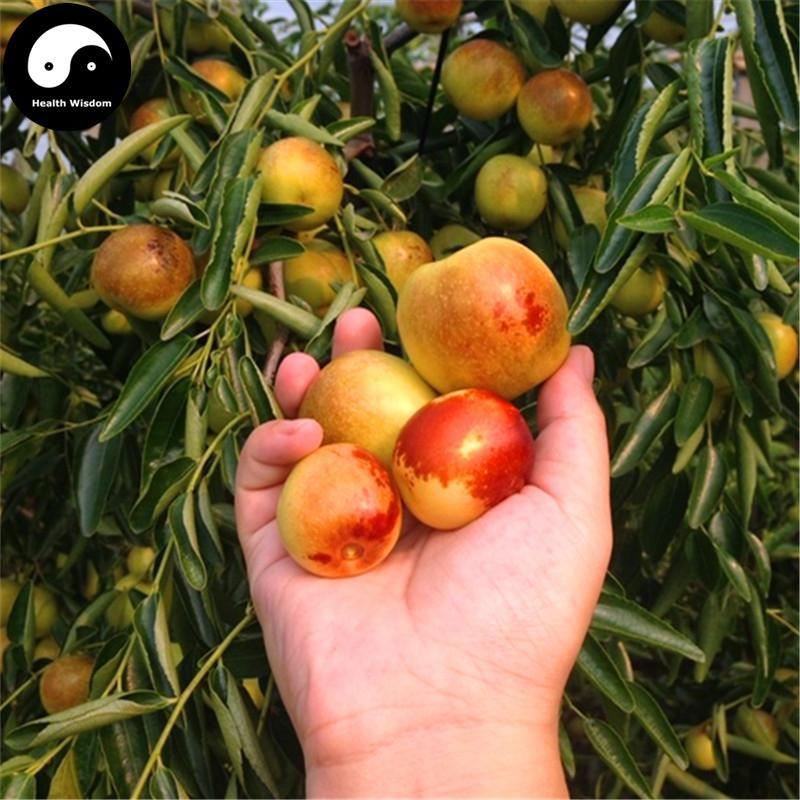 Showy, Edible, Hardy, Fast Ziziphus jujube Chinese Date Tree Seeds
