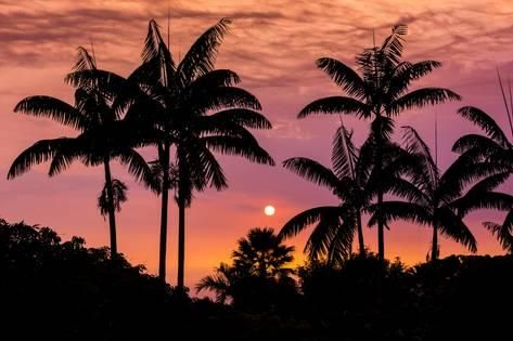 Photographic Print: Sunset Through Silhouetted Palm Trees, Kona Coast, the Big Island, Hawaii by Russ Bishop : 24x16in