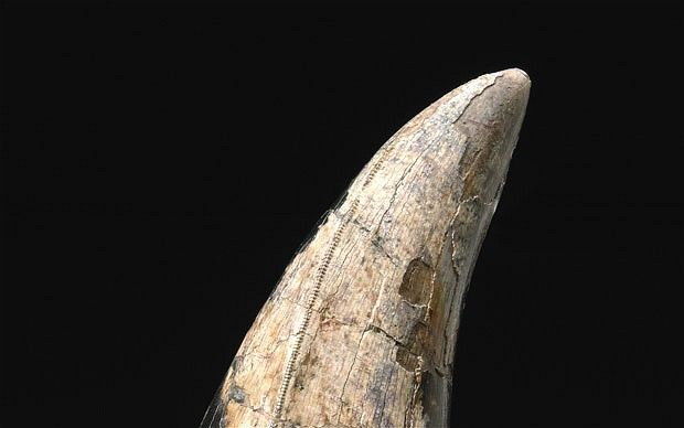 biggest tooth in the world - Google Search t-rex