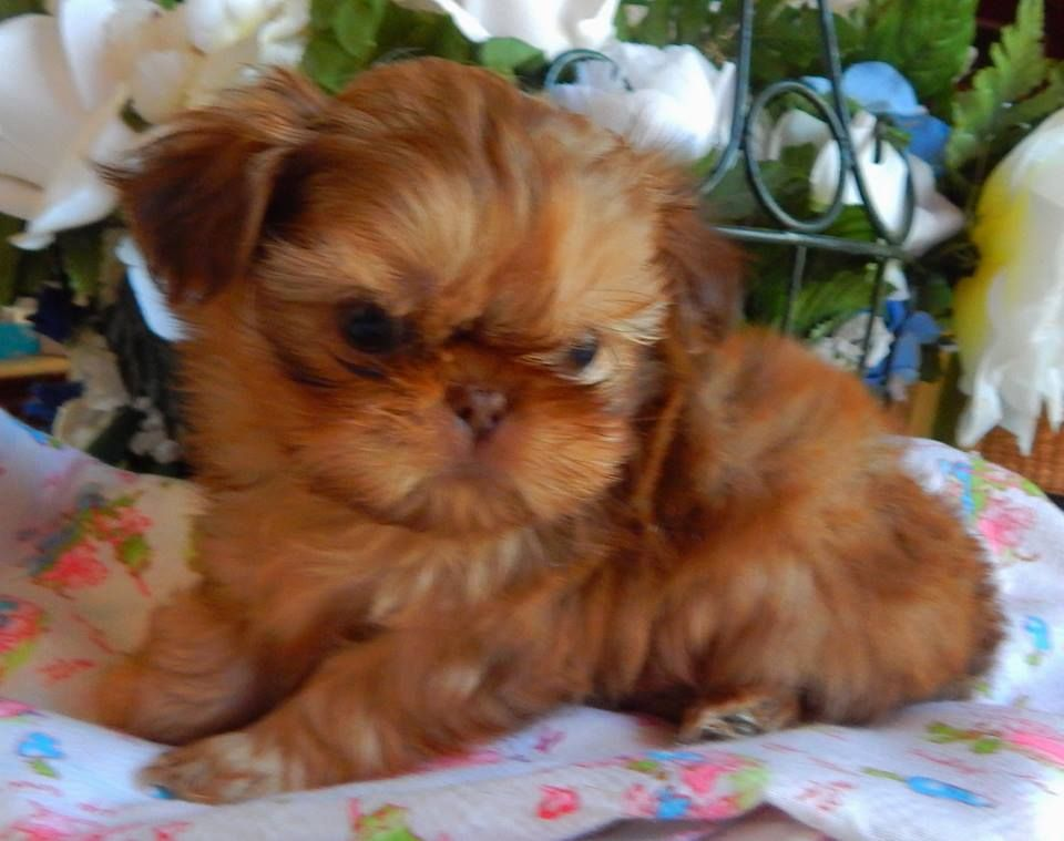 Red Liver Baby With Images Cute Animals Shih Tzu Puppy Pets