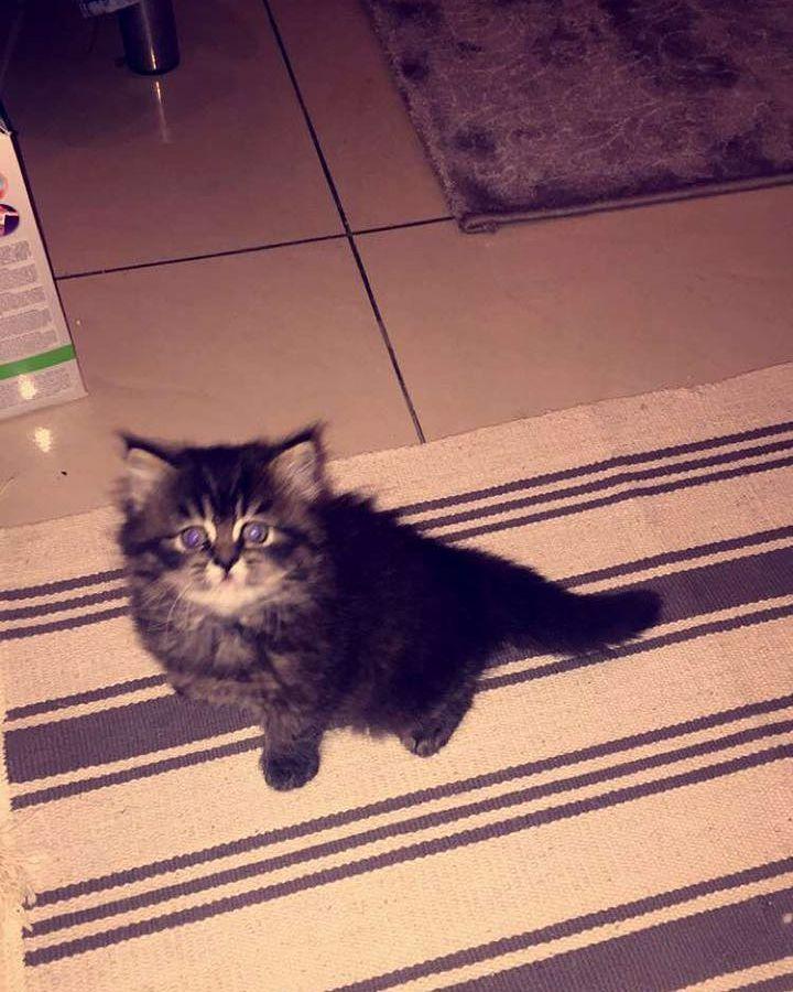 Kedelr Shop On Instagram انثى تايقر للبيع 0559789302 مستلزمات مستلزمات قطط فيتامينات قطط هير بول مكافئات قطط مكا Cats Animals Instagram