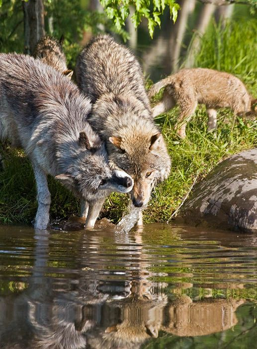 wildlife wolves foxes and coyotes pdf