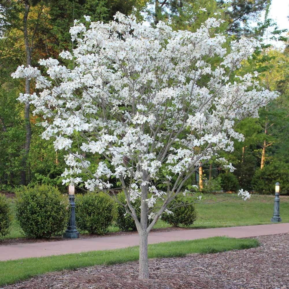 Cloud 9 Dogwood Tree In 2020 White Flowering Trees Dogwood Trees Flowering Trees