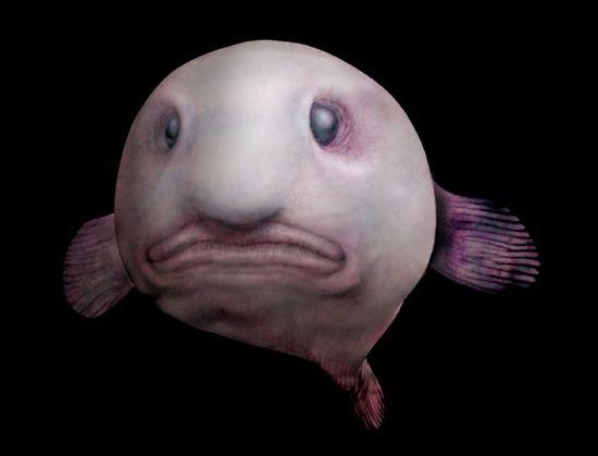 Psychrolutes marcidus, blobfish