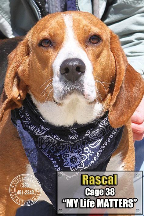 Adopt 38 Rascal Adopted On Adoptable Beagle Beagle Dog Beagle