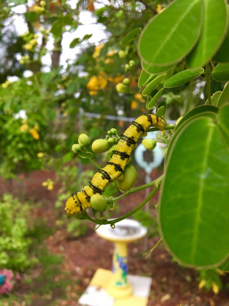 Sulphur butterfly caterpillars Butterfly, Caterpillar