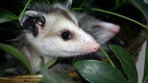 Homemade Natural Possum Repellent Gardening Tips Nature Opossum