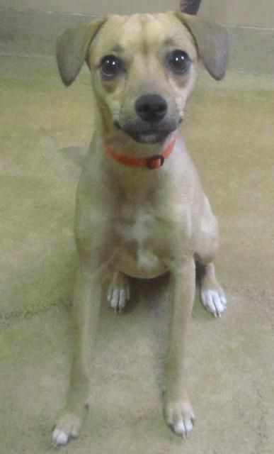 Adopt Stray Dog Daisy On Chihuahua Terrier Mix Terrier Mix Dogs Chihuahua