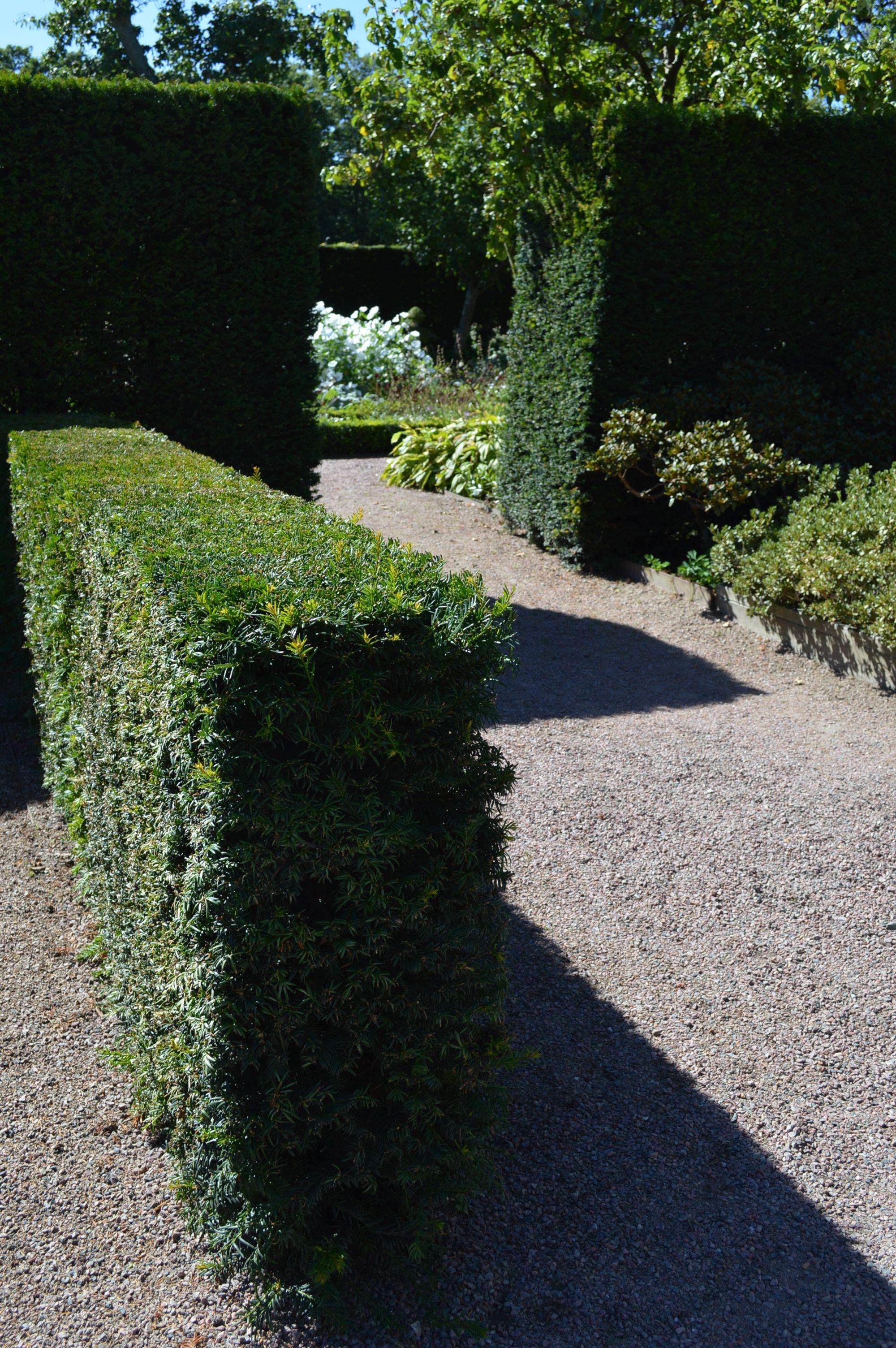 hedge taxus baccata venijnboom veel gebruikte haagplant makkelijk te scheren giftig bloei. Black Bedroom Furniture Sets. Home Design Ideas