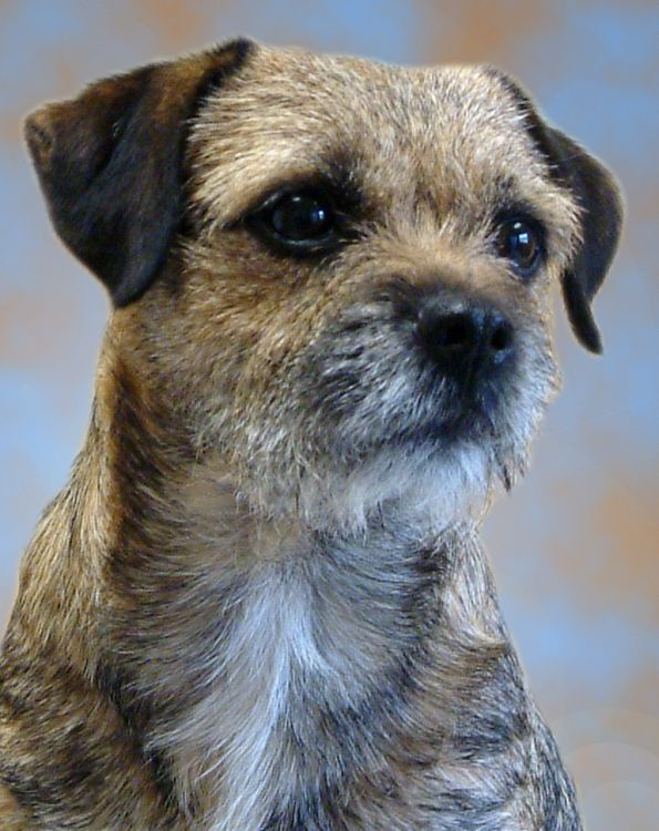 Border Terier Border Terrier Jpg 595 750 Border Terrier Dog
