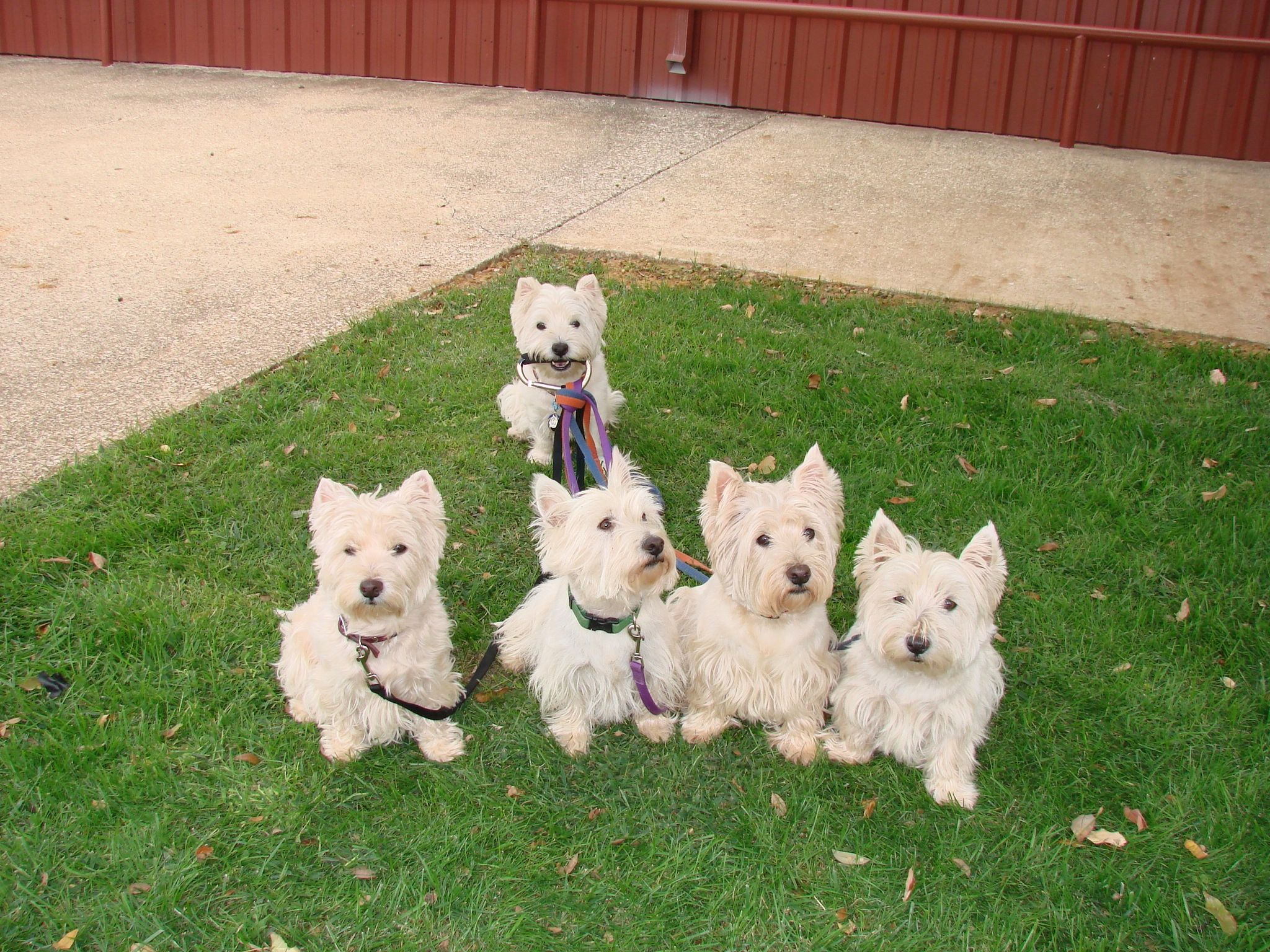 Pin By Viki Allen On Must Luv Animals Westies Dogs White Terrier