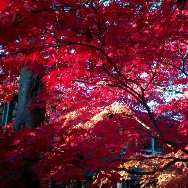 foto de Érable+du+Japon+ +Acer+palmatum+Osakazuki Erable du