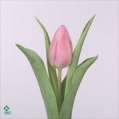 Tulips Aafke