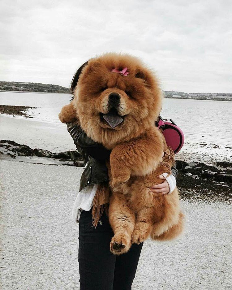 I Love Chow Chow 3 Lazy Dog Breeds Dog Breeds Fluffy Dog Breeds