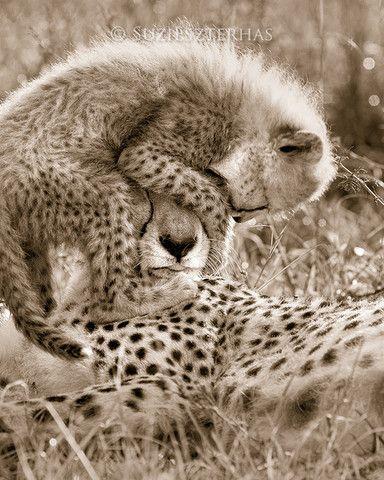 Big Cats (Sepia) | Baby Animal Prints by Suzi