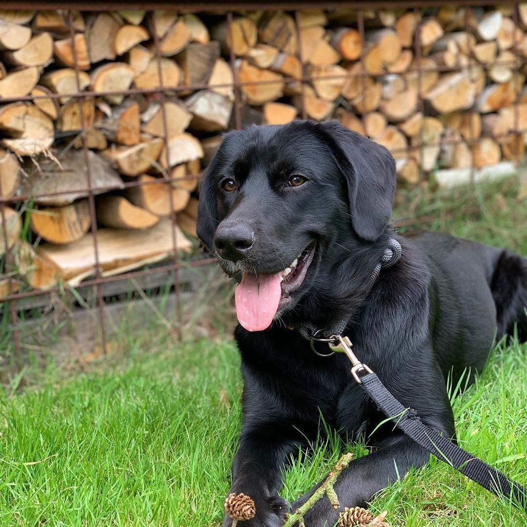 Labrador Puppies Delhi In 2020 Labrador Puppy Pet Shop Puppies