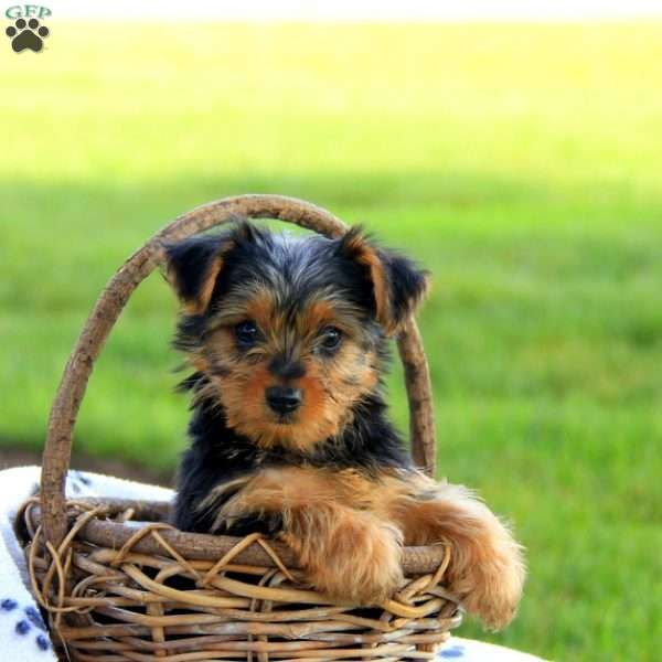 Oliver Dachshund Mix Puppy For Sale in Pennsylvania