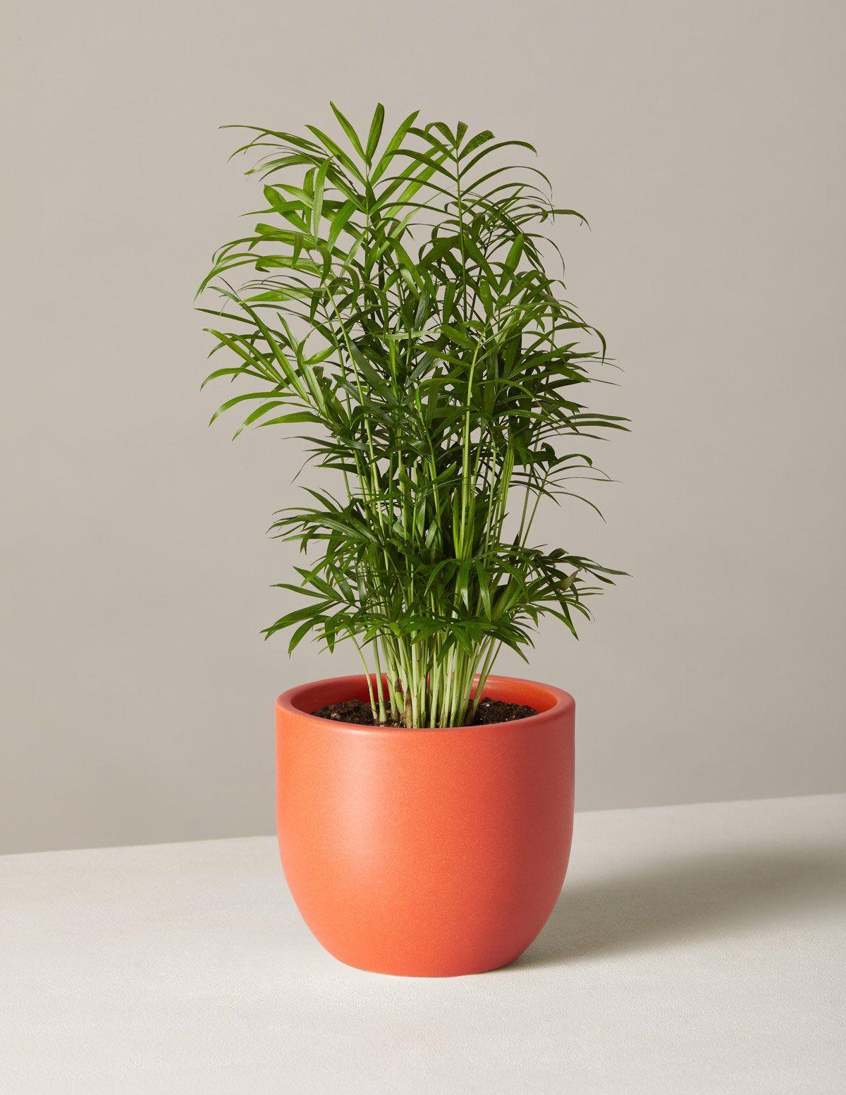 Parlor Palm Perfect plants, Low light plants, Winter plants