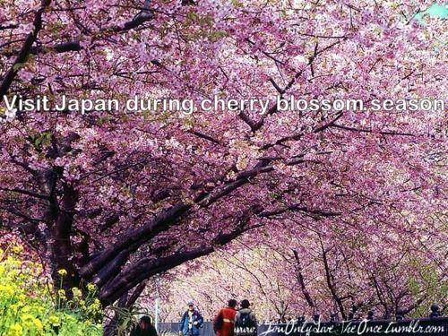 Bucket List On Tumblr Cherry Blossom Japan Kyoto Japan Cherry Blossom Cherry Blossom