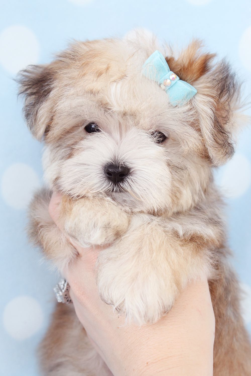 Adorable Morkie Puppies For Sale In South Florida Morkie Puppies