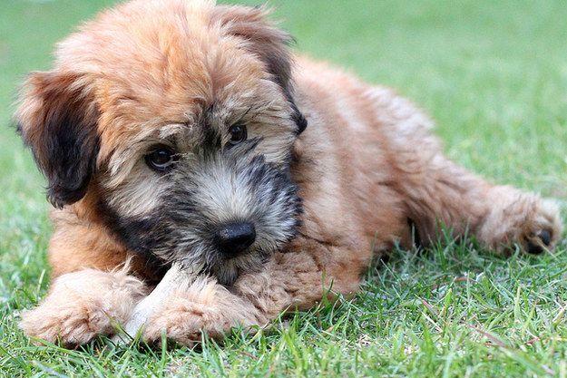 Wheaten Terrier Adorableness Cute Puppy Breeds