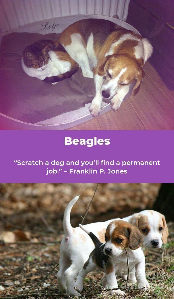 Beagle Puppy Beagleofinstagram Beagles Training Beaglesdog