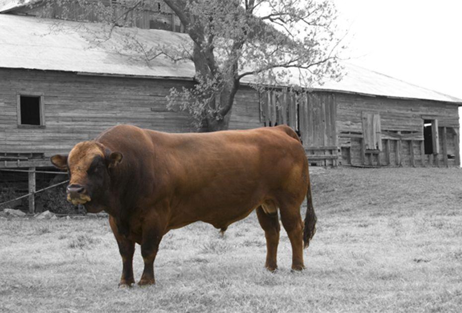 Ankenman Ranch, Tarentaise Bulls