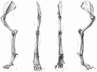 Comic Tools 03 2012 Canine Front Leg Skeleton Giải Phẫu Học