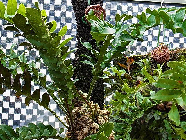 Lecanopteris Lomarioides レカノ ロマリオイデス 富貴蘭讃歌 Plantas