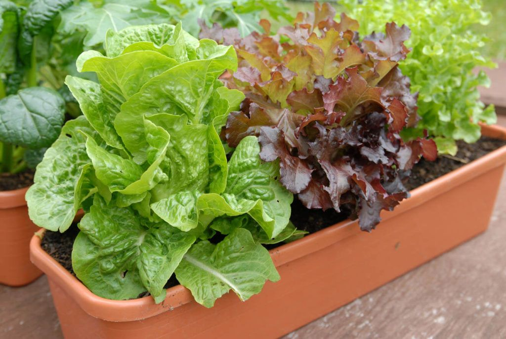 How To Grow Lettuce In Pots Or Containers Growing 640 x 480