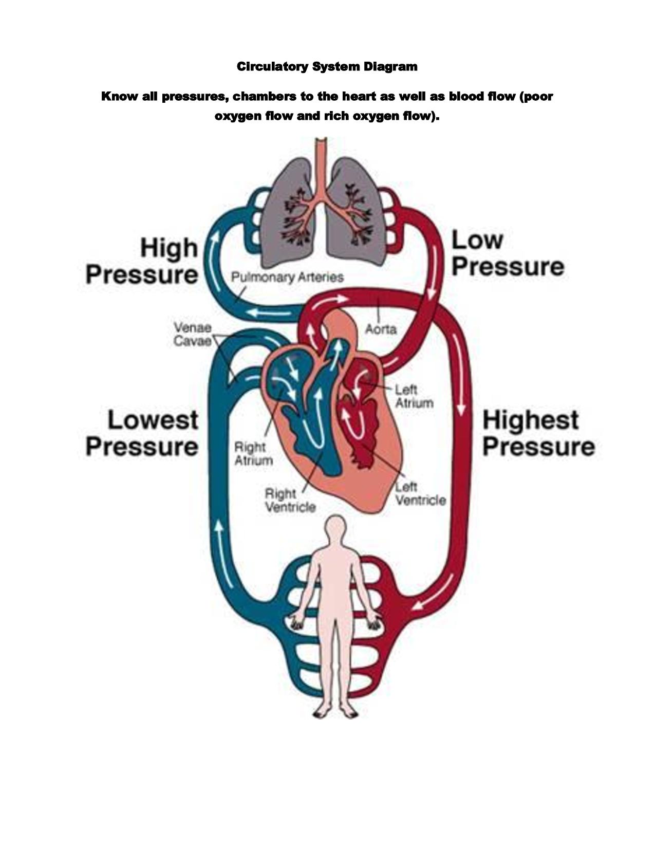 Circulatory System Through External Respirtaion A Gas Exchange Occurs Betweem Pulmonary Blood