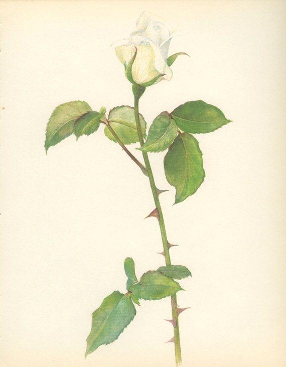 Vintage Rose Print Virgo White Rose by MarcadeVintagePrints