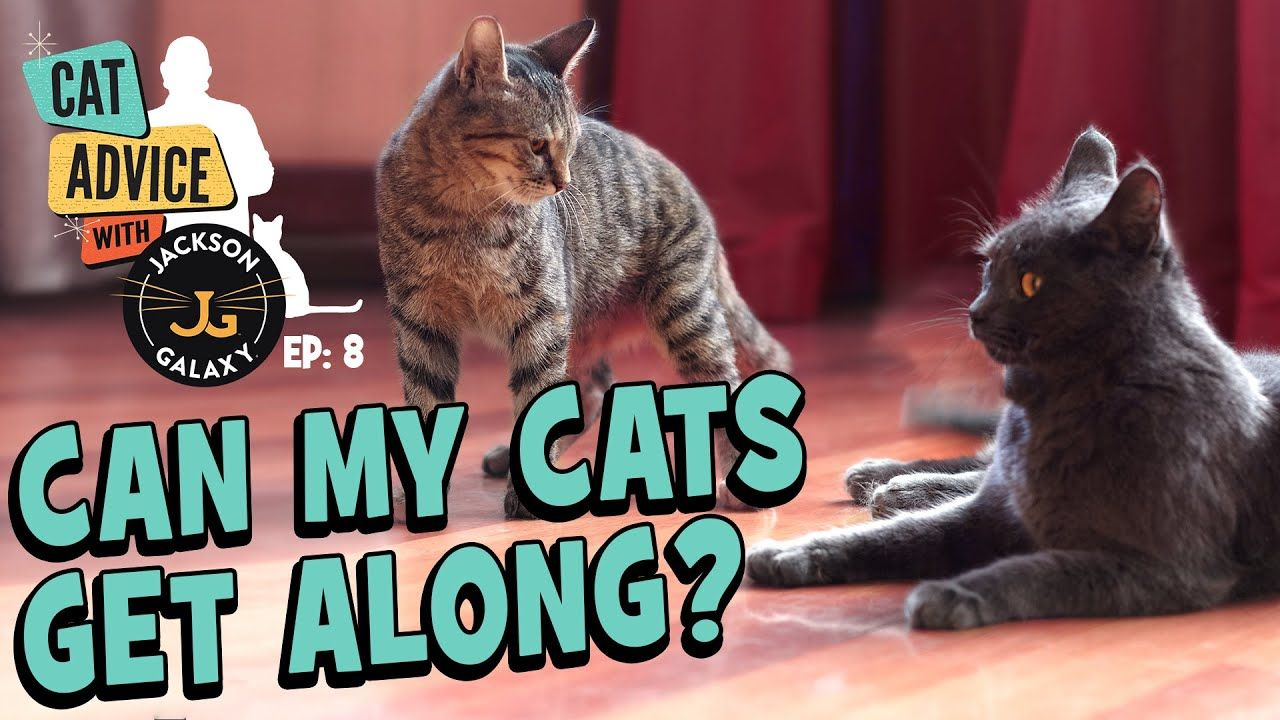 Can My Cats Get Along Cat To Cat Body Language Basics Introduction Tips Https Www Youtube Com Watch V Uwohxdoxsl4 In 2020 Cats Cat Body Cat Advice