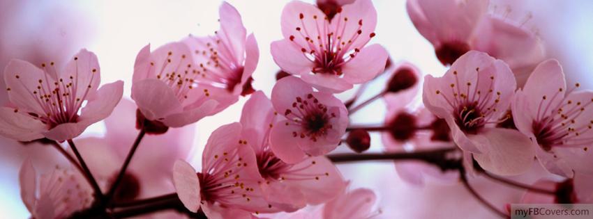 Pretty Cherry Blossom Flowers Cherry Blossom Tree Sakura Cherry Blossom