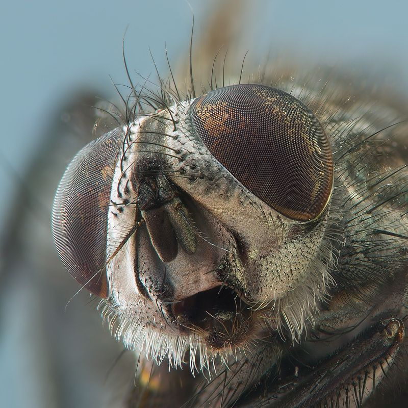 macro photo grey brown house fly with hair beard and eye facets