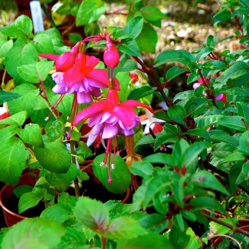 fuchsia struiken vol bloemen en eetbare bessen kweken in