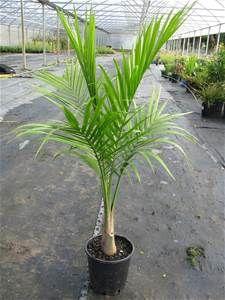 majestic palm ravenea rivularis part sun full shade 200mm pot rh pinterest com