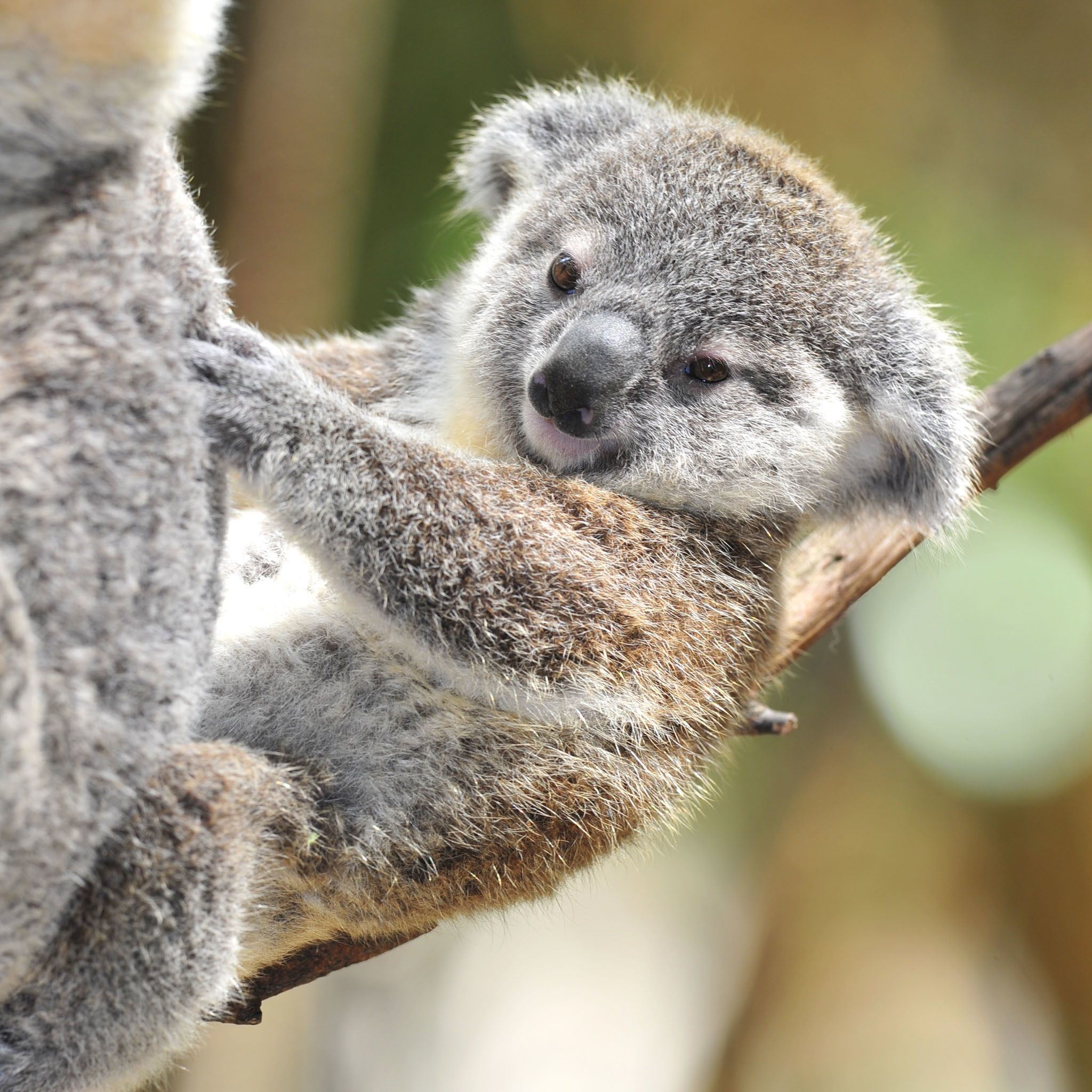 Res 2048x2048 Newborn Baby Koalas Wallpaper Koala Koala Bear Baby Koala
