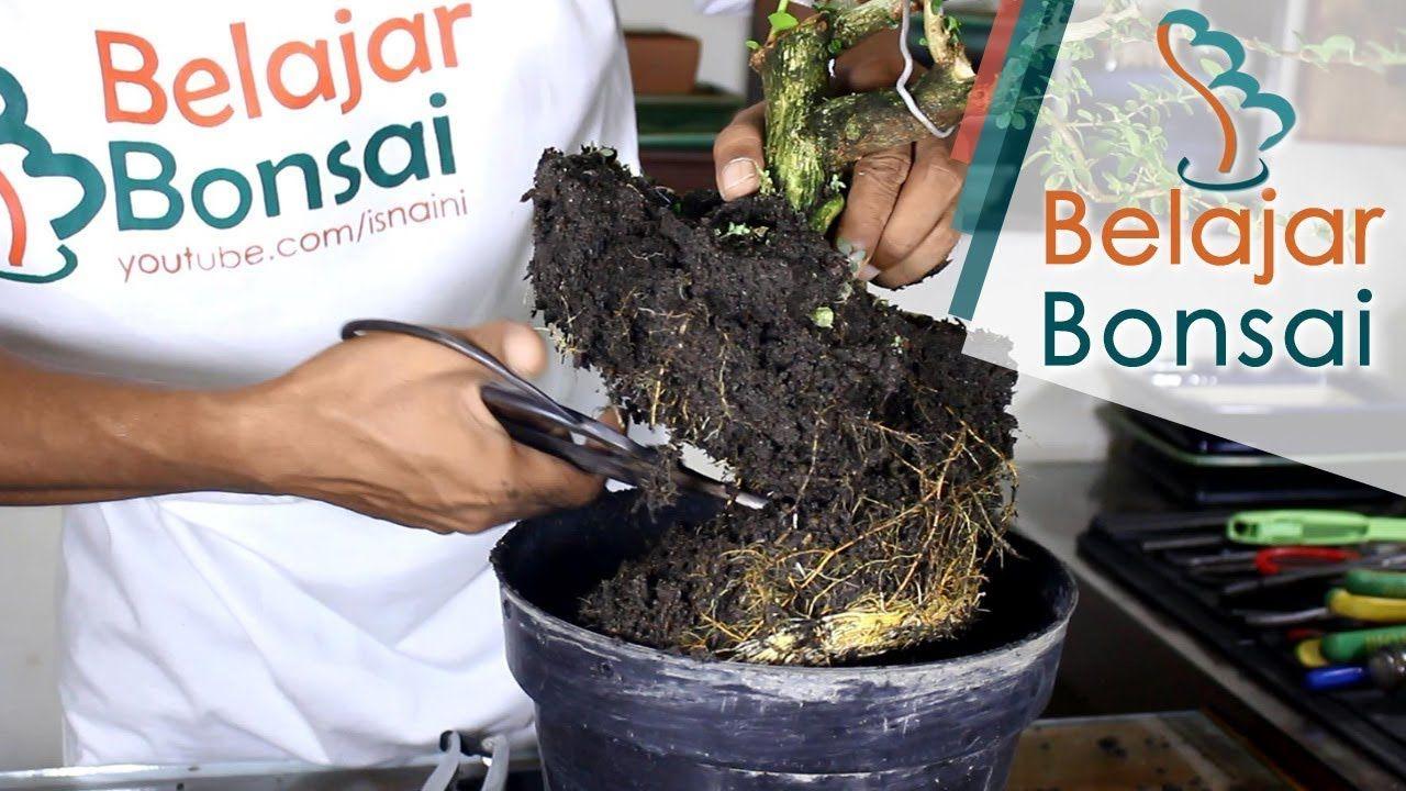 Bonsai sancang pemotongan dahan cabang yang di los dan pangkas bonsai sancang pemotongan dahan cabang yang di los dan pangkas akar ccuart Choice Image