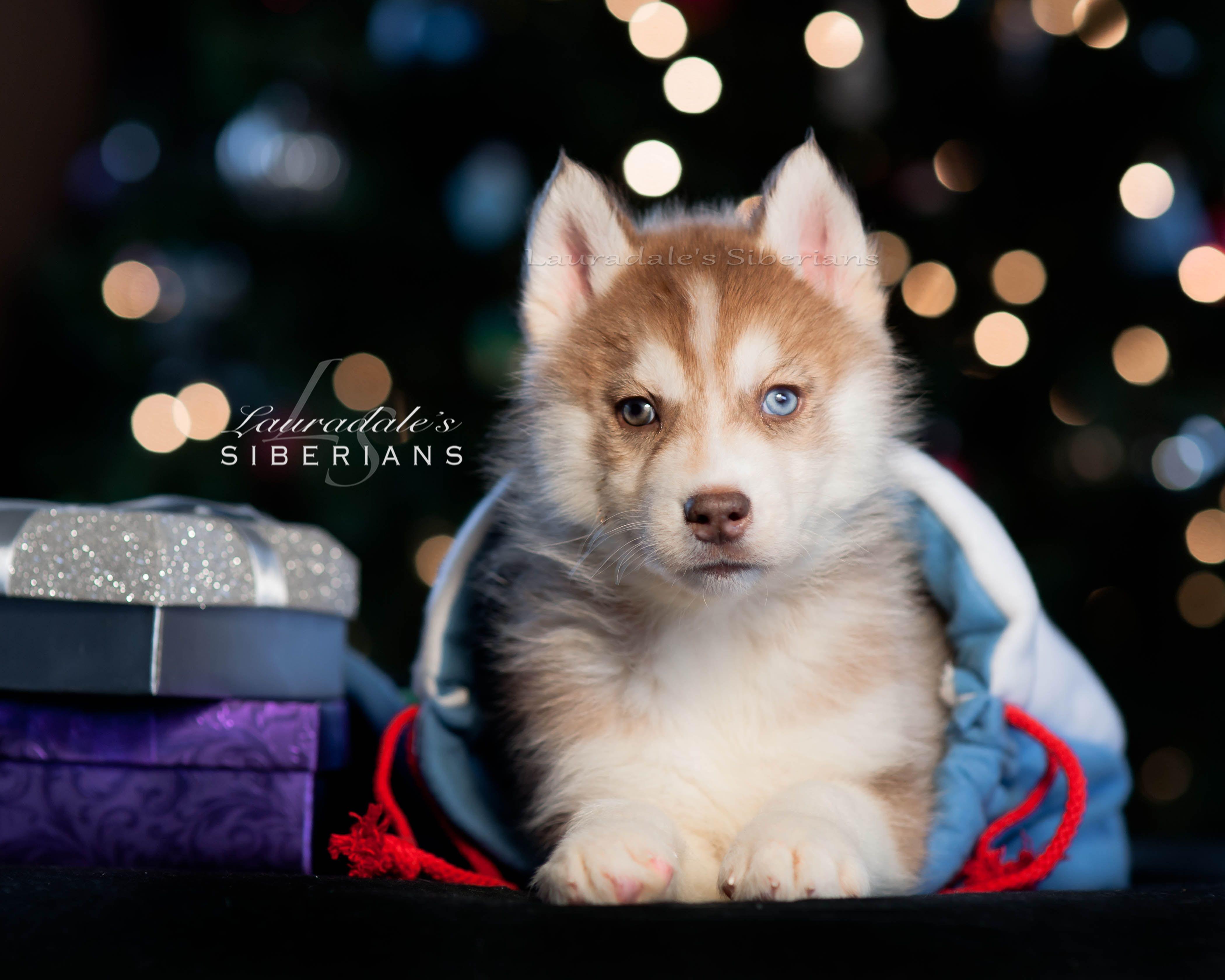 Siberian Husky Puppy Christmas Photos Siberian Husky Siberian