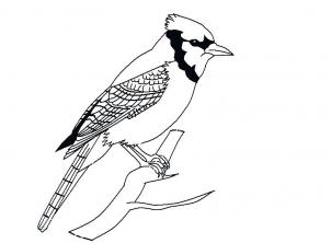 How To Draw A Blue Jay Step 8 Bird Drawings Bird Sketch Blue Jay