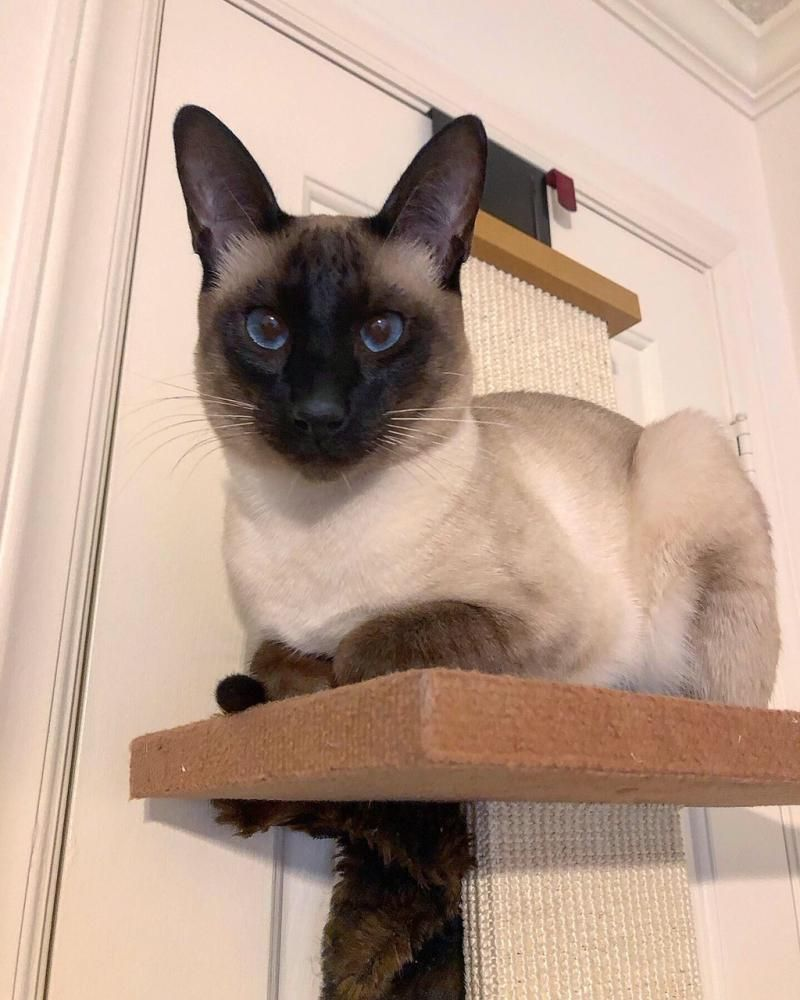 Carolina Blues Cattery Home In 2020 Cattery Cat Breeder Siamese Kittens