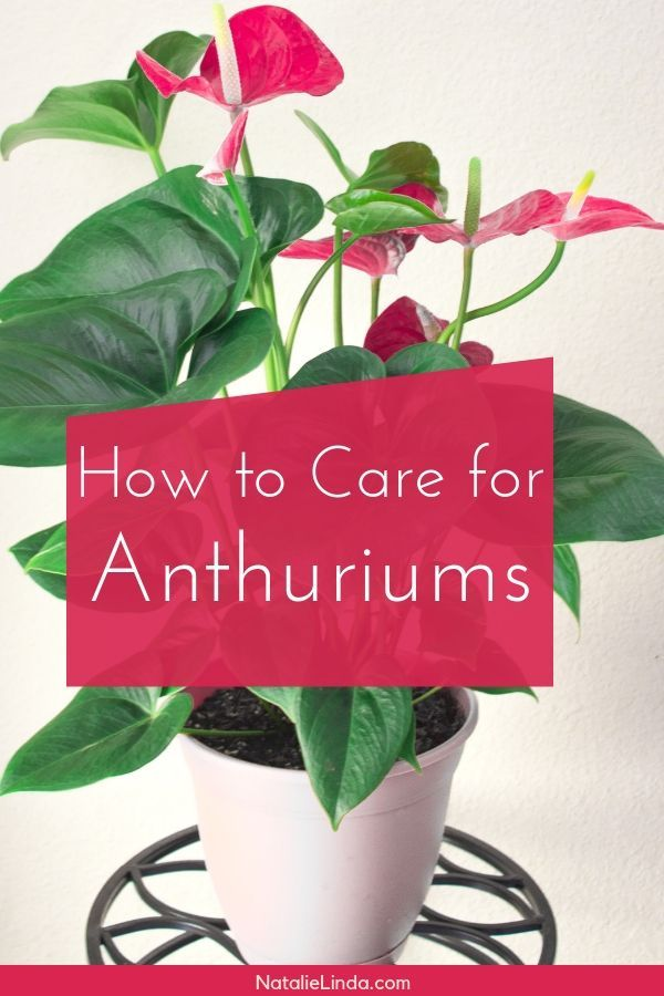 Anthuriums How To Care For This Long Blooming And Tropical Houseplant Gardening For Beginners Anthurium Plant House Plants