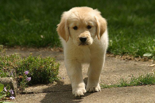 Golden Retriever Puppy Dogs Golden Retriever Super Cute Puppies