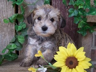 Schnoodle Puppy Schnoodle Puppy Puppies And Kitties Puppies