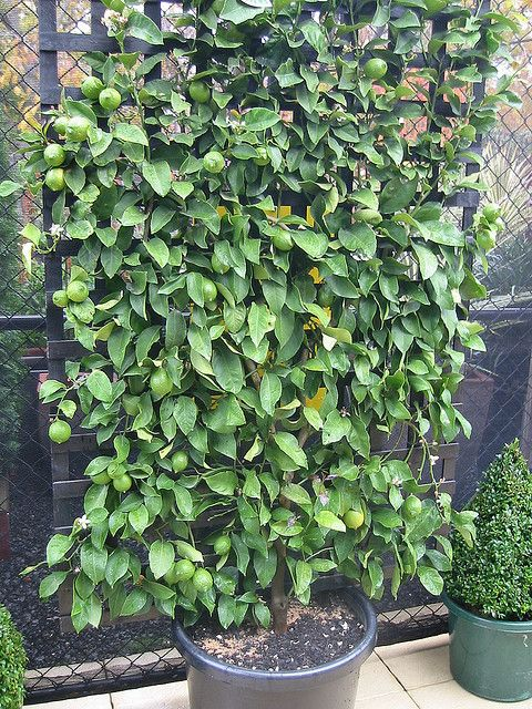 Espalier Lemon Tree You Could Potentially Screen Your Outdoor Bath Ensuite With Espalier Lemon Espalier Fruit Trees Fruit Tree Garden Garden Trellis