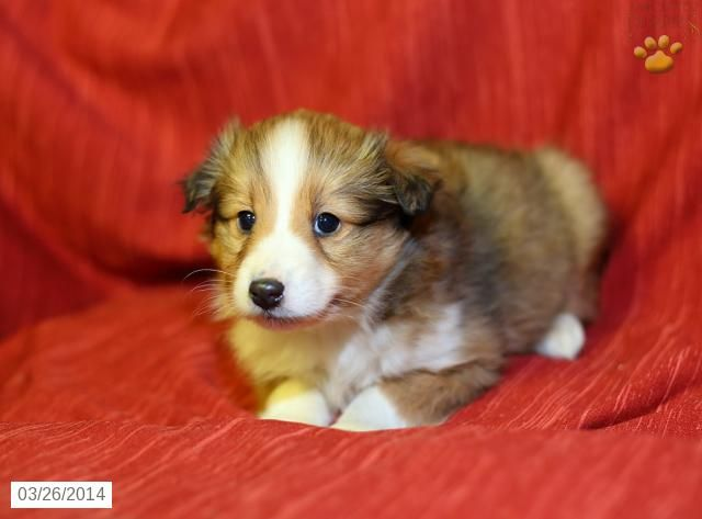 Shetland Sheepdog Puppy For Sale In Pennsylvania Shetland Sheepdog Puppies Puppies Shetland Sheepdog