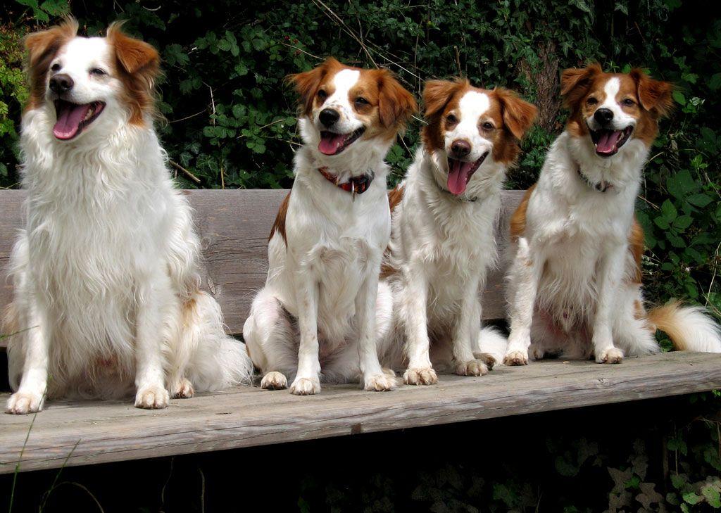 Kromfohrlander Kromfohrlander Met Afbeeldingen Honden