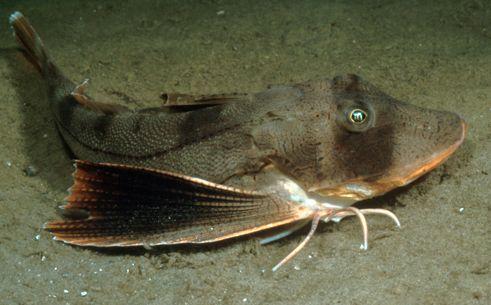 Striped Sea Robin