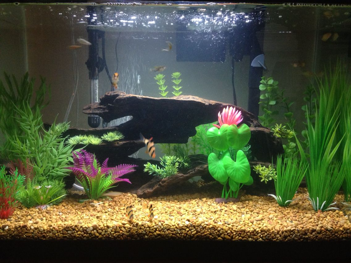 Fish aquarium price in pakistan - My 20 Gallon Aquarium Has Guppies Tiger Barbs Zebrafish And Albino Cory Catfish